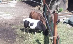 牛 ? 馬?